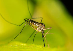 Les autorités informent sur la prolifération du moustique tigre